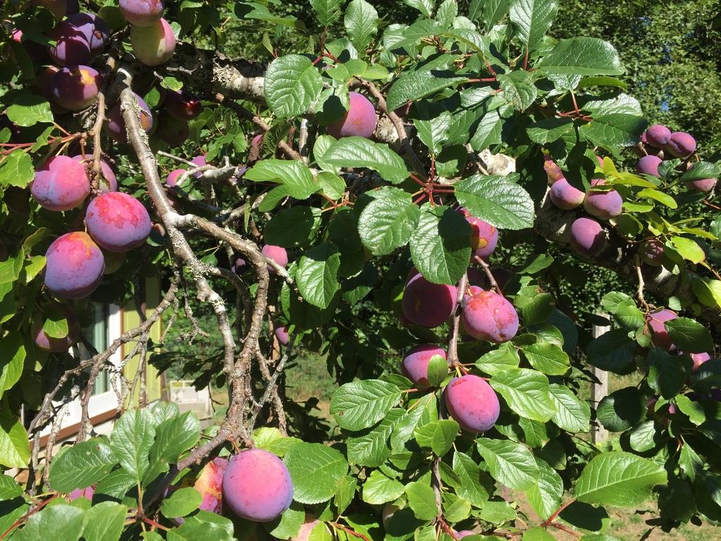 Italian plum